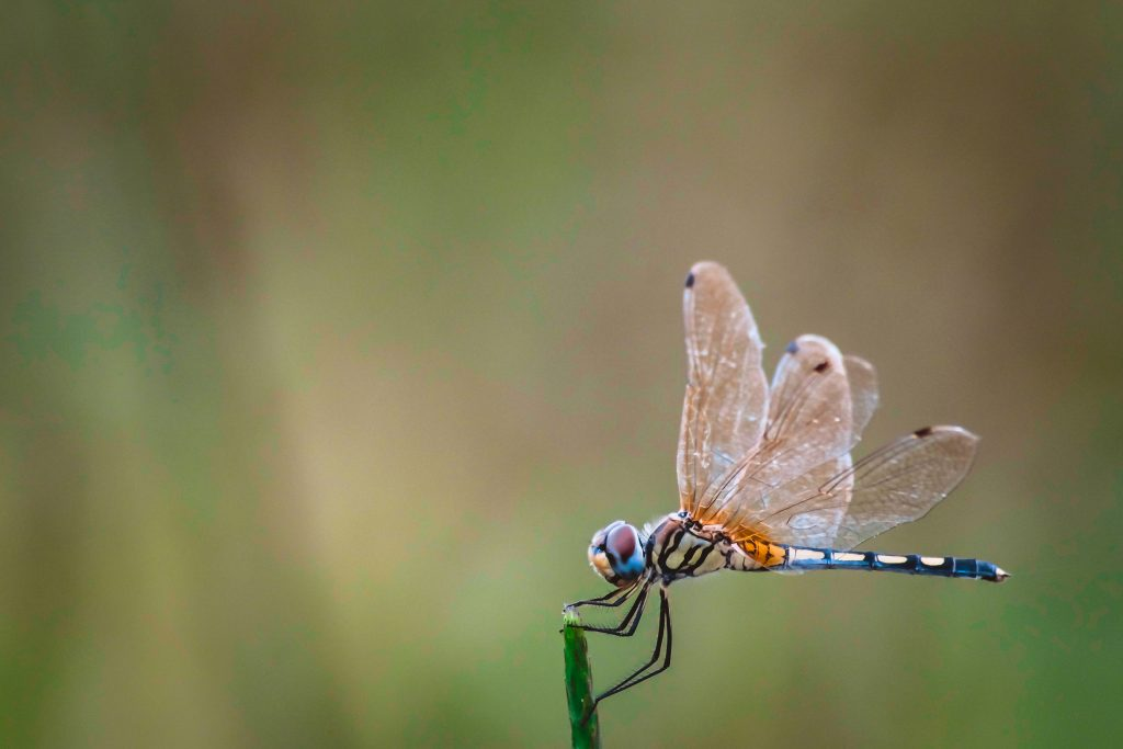 Dragonflies Are The Forgers of Creation And Carriers Of Ancient & Alien Secrets