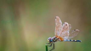 dragonflies - shutterstock_1542623843