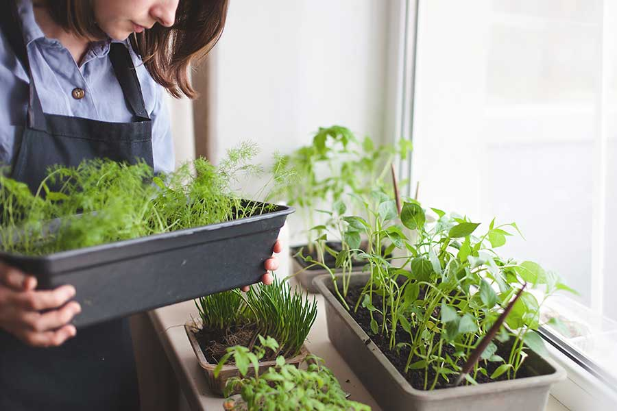 Growing a healing herb garden at home